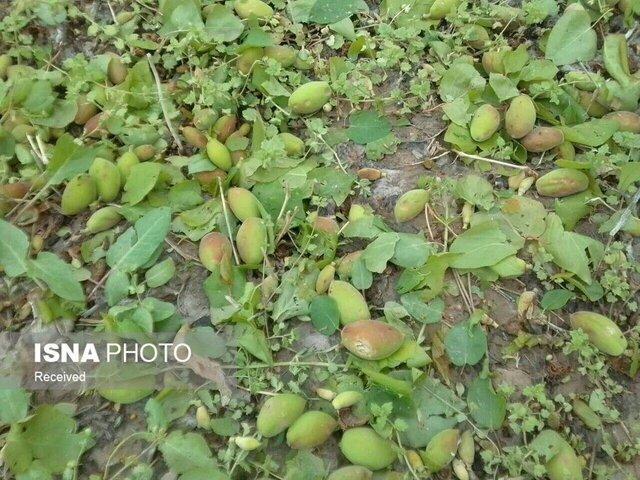 خسارت 297 میلیارد و 500 میلیون ریالی بارش های بهاری به بخش کشاورزی گناباد