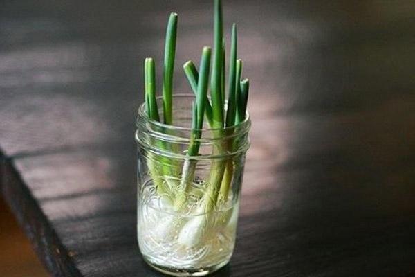 طریقه کاشت پیاز خوراکی در گلدان