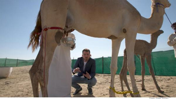 دبی؛ اولین شکلات جهان که با شیر شتر درست می گردد